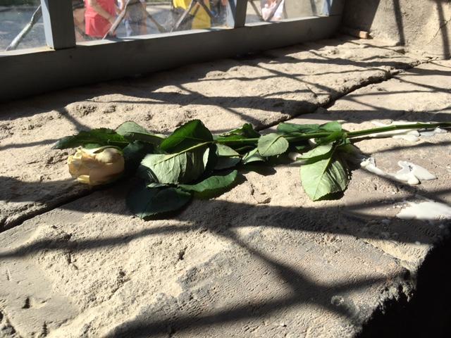 アウシュビッツの白いバラ